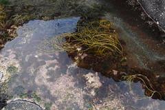 Eigg (Stitchinscience) Tags: eigg island summer beachcombing rockpool seaweed texture pattern