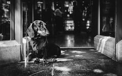 You Shall Not Pass! (Zesk MF) Tags: bw black white mono animal dog sitting street bewachen guard monochrom life zesk paw shop entrance dackel hund 24mm eingang low maastricht