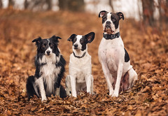Brothers From Another Mother (Tracy Munson Photography) Tags: americanbulldog bordercollie newbrunswickpetphotographer blackandwhitedogs brothersfromanothermother bulldog dogphotography dogs dogsinautumnleaves mastiff petportraits