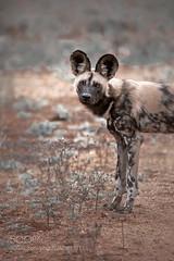 Wild African Dog (KevinBJensen) Tags: wild african dog safari wildlife south africa portrait outdoors