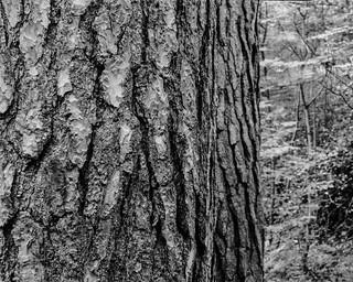 Two Pines (Stanley Burn Woods)