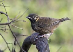 White-eared Ground-Sparrow (Melozone leucotis) (Gmo_CR) Tags: melozoneleucotis whiteearedgroundsparrow pinzónorejiblanco cuatroojos payasito costarica coris inmaduro immature juvenile juvenil