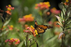 Fave flower (gsmper) Tags: butterfly monarch flowers sunlight california garden park bokeh colors sony sigma art mc11 nature wildlife
