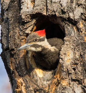Grand Pic (Femelle)  -  Pileated Woodpecker  Explore 2018-06-08
