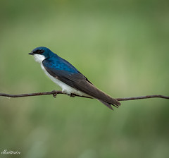 Tree Swallow (Donna Brittain - See what I see) Tags: birds blue fence treeswallow wildlife ontariocanada nature 7dwf fauna