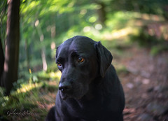 The Reluctant Model (Gilama Mill) Tags: ffp flowersplants landscapes lensbaby lensbabytwist60 ruby dog labrodor woods black bokeh