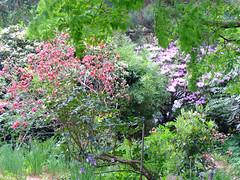Himmelfahrt 2018, Rhododendron cinnabarinum und andere Rhododendren (R.S. aus W.) Tags: rub ruhr universität bochum botanischer garten nrw blumen tiere vatertag himmelfahrt feiertag blüten wachteln nordrhein westfalen pflanzen gewächshäuser besucher