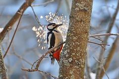 Большой пестрый дятел. (tam6524) Tags: большойпестрыйдятел dendrocoposmajor greatspottedwoodpecker bird animal nature nutrition wood forest picidae snow