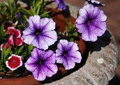 DSC_0252 Petunia (PeaTJay) Tags: nikond750 reading lowerearley berkshire macro micro closeups gardens outdoors nature flora fauna plants flowers petunia