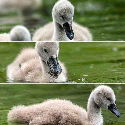 Cygnets pose for my Nikon #wildlfephotography #naturelovers #nature #countryfile #swanwatch #birds #photography https://ift.tt/2LJXPwP