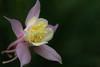 Divine columbine (christophe.laigle) Tags: christophelaigle fleur macro ancolie nature flower fuji nantes columbine xpro2 xf60mm parcdelaroseraie