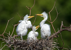 Baby Great Egrets (Ed Sivon) Tags: america canon nature wildlife wild western white southwest egret great texas bird