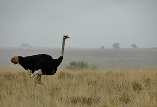 Ostrich in the morning mist