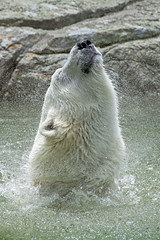 pure pleasure (ucumari photography) Tags: ucumariphotography polarbear ursusmaritimus oso bear animal mammal nc north carolina zoo osopolar ourspolaire oursblanc eisbär ísbjörn orsopolare полярныймедведь nikita june 2018 dsc1139 specanimal