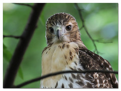 Palemale's kid just hours after leaving the nest (Redtail10025) Tags: redtailed hawk hawks pale male palemale raptors fifth avenue nyc central park nature wildlife fledging nest fledgling