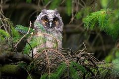 Long-eared owlet (Phil D 245) Tags: