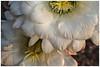 Night Blooming Cactus #6 2018; Argentine Giant (hamsiksa) Tags: plants flora succulents xerophytes desertplants sonorandesert flowers blooms blossoms cactus cacti cactaceae stigma stamens arizona tucson botany horticulture southwest