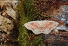 Birch Mocha Cyclophora albipunctata (gcampbellphoto) Tags: birch mocha cyclophora albipunctata moth insect macro nature wildlife north antrim gcampbellphoto