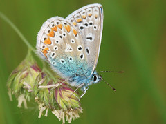 Polyommatus icarus (Common blue) / male