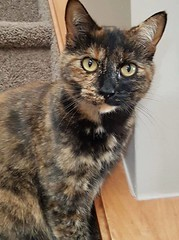Missing Torty cat in #evergreen. Pls RT share help to find her. 403-828-4917 YYC Pet Recovery shared Michelle Forbes's post. Our female cat is missing in Evergreen SW. Please keep an eye out for her. 2018-06-18T14:21:09.000Z by YYC Pet Recovery original f (yycpetrecovery) Tags: ifttt june 19 2018 dsh tortie calicotortie evergreen female lostcat lost cat