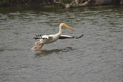 American White Pelican - Pelecanus erythrorhynchos (jessica.rohrbacher) Tags: erythrorhynchos pelican pelecanus white bird avian spring calgary alberta canada pelecanidae