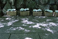 Sunbeams through the trees (yukky89_yamashita) Tags: あじさい 長岡京市 京都 あじさいウィーク 柳谷観音 hydrangea flowers sunbeams kyoto japan nagaokakyo temple