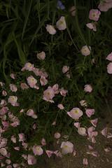jdy143XX20180523a2215Bias-1.7 stops.jpg (rachelgreenbelt) Tags: ghigreenbelthomesinc oenotheraall usa oenotheraberlanderisiskiyoupink greenbelt ordermyrtales midatlanticregion ouryard rosids americas subfamilyonagreae northamerica maryland familyonagraceae eudicots magnoliophyta eveningprimrose floweringplants myrtales myrtalesorder oenothera onagraceae onagraceaefamily onagreae onagreaesubfamily spermatophytes suncup sundrop