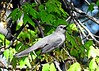 Gray Catbird Singing in the Sunshine (Anne Ahearne) Tags: wild bird animal wildlife maple tree nature gray grey catbird songbird birdwatching