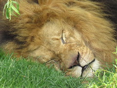 IMG_0141 (duncansmith50) Tags: yorkshirewildlifepark lions polar bears black rhino tigers giraffes doncaster