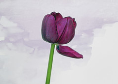 Sweet Dreams (tmattioni) Tags: tulip purple watercolor smileonsaturday preciouspurple cmwd hss