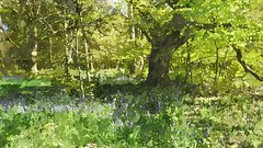 Bluebells and Oak (Phil Wood60) Tags: bluebells tree green foliage fotosketcher