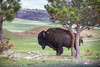 Bull rub (Notkalvin) Tags: bull bison fur animal critter buffalo beast notkalvin mikekline notkalvinphotography outdoor windcavenationalpark park nationalpark southdakota hornsherbivore landscape wide colorimage nopeople hills trees grass
