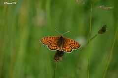 Melitée ? (BPBP42) Tags: papillon butterfly animal nature