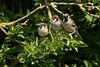 Tree Sparrows (douglasjarvis995) Tags: bird wild bush tree sparrow wildlife britain blacktoft sands rspb