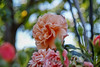 2018 Spring rose (shinichiro*) Tags: 20180505sdim2706 2018 crazyshin sigmasdquattroh sdqh sigma1770mmf284dcmacrohsm may spring flower rose yokohama kanagawa japan jp 27598165337 candidate