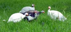 Guinea Fowl (Paul F 36) Tags: somerset cheddar bird guineafowl