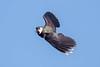 Lapwing (Simon Stobart) Tags: lapwing flying vanellus uk north east england