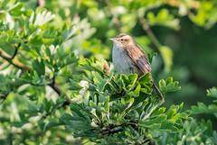 Sedge warbler (ian._harris) Tags: nikon naturaleza nature d7200 sigma 500mmf45 naturephotography natural june sunny flickr fowlmere