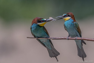 Mating rituals for European bee-eaters.