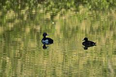 tufted duck (Aythya fuligula) (kalakeli) Tags: tuftedduck aythyafuligula reiherente ducks enten birds vögel may mai 2018 birdrace birdrace2018 wienburgparkmünster