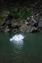 Australia_2018-206.jpg (emmachachere) Tags: subtropical trees hike waterfall boatride springbrook australia rainforest kanagroo animals koala brisbane boat lonepinekoalasanctuary