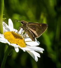 Sip Tip (Portraying Life, LLC) Tags: dbg6 da3004 hd14tc k1mkii michigan pentax ricoh unitedstates butterfly closecrop handheld nativelighting skipper meadow daisy