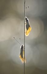 Cohabitation (donlope1) Tags: macro nature light proxy ascalaphe dragonfly bokeh spring sunset sun insect
