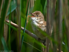 Reed Warbler at St Aidan's RSPB Reserve (steve.gombocz) Tags: nikon nikond850 nikon500mmf4 nikonusers nikoncamera nikkor avian uccello oiseau vogel ave pajaro flickraddicts birdphotography birdphotograph birdphoto ngc outdoor animal out outandabout nature wildlife wildlifereserve naturereserve wildlifewatch naturewatch wildlifephotos naturephotos wildlifephotograph naturephotograph wildlifephotography naturephotography wildlifepicture naturepicture springwatch bbcspringwatch tier animale flickrwildlife flickrnature wildbritain britishwildlife britishnature wildlifeuk yorkshirewildlife rspb rspbstaidans bird birds ukbird warbler reedwarbler reeds rushes birdwatcher birdwatching birdwatch naturewildlife uknatureandwildlife flickrbirds birdpictures birdsightings explorewildlife explorenature explorebirds exploreflickr colour colours color colourmania green