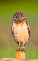 Burrowing Owl (agnish.dey) Tags: birding birdwatching bird bokeh green grassland goldenhour perched capecoral coth animalplanet florida naturallight nature naturephotograph nikon d500 owl burrowingowl eyes