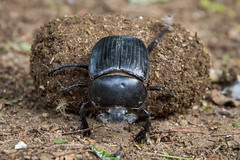 Dung Beetle II (Alex Voets) Tags: kenya tsavoeast dungbeetle insects