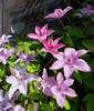 Profusion de clématites, près de Balloch, Dunbartonshire, Ecosse, Royaume-Uni. (byb64) Tags: balloch lomond lochlomond dunbartonshire westdunbartonshire ecosse schottland scotland scozia escocia grandebretagne greatbritain grossbritanien granbretana ue uk unitedkingdom royaumeuni reinounido eu europe europa vereinigteskönigreich fleurs flores flowers blaumen fiori floraison blossom rose rosa pink clématite clématis