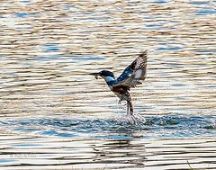 Got one! (Dr. Farnsworth) Tags: bird beltedkingfisher fishing eating minnow westlake mi michigan spring may2014 nationalgeographic worldwidegroup