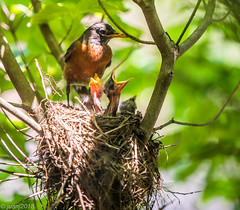 Mother and Baby Birds in a Nest (JuanJ) Tags: nikon d850 lightroom art bokeh nature lens light landscape white green red black pink sky people portrait location architecture building city iphone iphoneography square squareformat instagramapp shot awesome supershot beauty cute new flickr amazing photo photograph fav favorite favs picture me explore interestingness wedding party family travel friend friends vacation beach bird robin baby next kentucky scottcounty georgetown 2018 may tree tamron