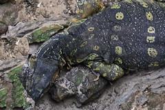 VARANO    ----    VARANUS (Ezio Donati is ) Tags: animali animals rettili reptiles natura nature acqua waater foresta forest africa costadavorio areayamoussoukro